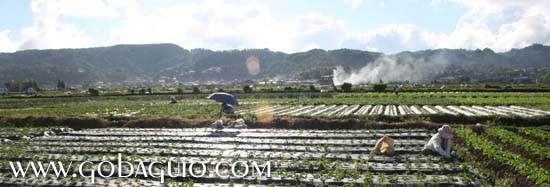 The strawberry fields of La Trinidad