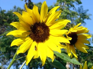 Wild Baguio Sunflowers